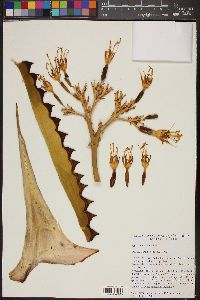 Image of Agave marmorata