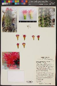 Eriosyce subgibbosa image