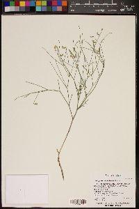 Image of Astragalus convallarius