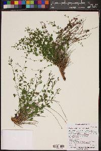 Perityle ciliata image