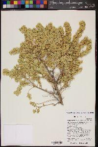 Image of Atriplex tetraptera