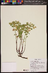 Image of Euphorbia yaquiana