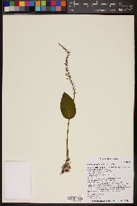 Malaxis porphyrea image