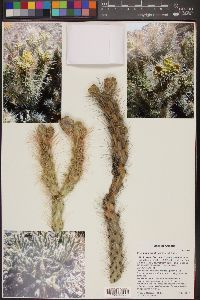 Image of Cylindropuntia abyssi