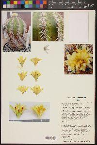 Image of Copiapoa echinoides