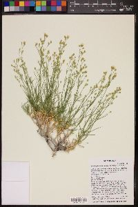 Image of Eremogone macradenia