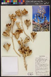 Yucca utahensis image
