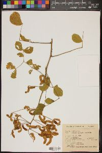 Image of Mimosa egregia