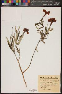 Image of Macrosiphonia hypoleuca