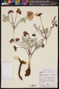 Cymopterus multinervatus image