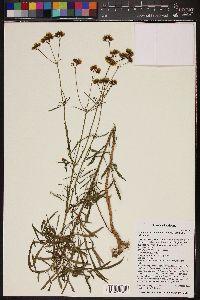 Coreocarpus arizonicus var. arizonicus image