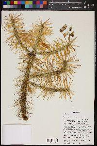 Image of Cylindropuntia hystrix