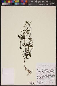Salvia micrantha image