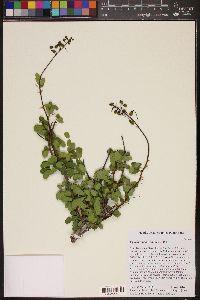 Image of Caesalpinia barahonensis