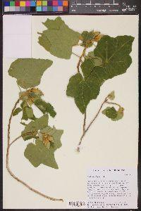 Image of Hibiscus clypeatus