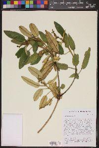 Image of Croton azuensis