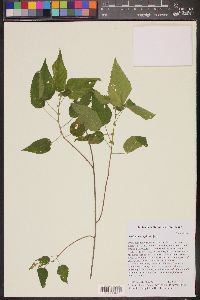 Image of Acalypha cuspidata
