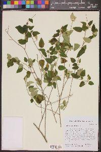 Image of Croton origanifolius