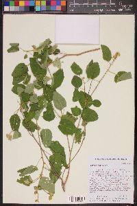 Image of Croton coronatus