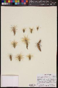 Image of Cylindropuntia davisii