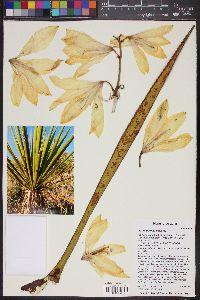 Yucca baccata var. brevifolia image