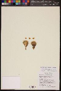 Image of Mammillaria gasseriana