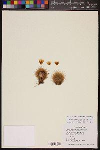 Image of Mammillaria pennispinosa