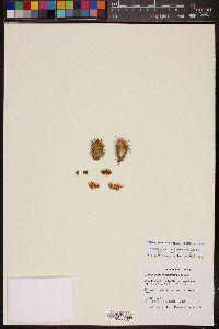 Image of Mammillaria moelleriana