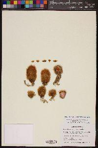Image of Mammillaria brachytrichion