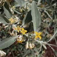Image of Elaeagnus angustifolia
