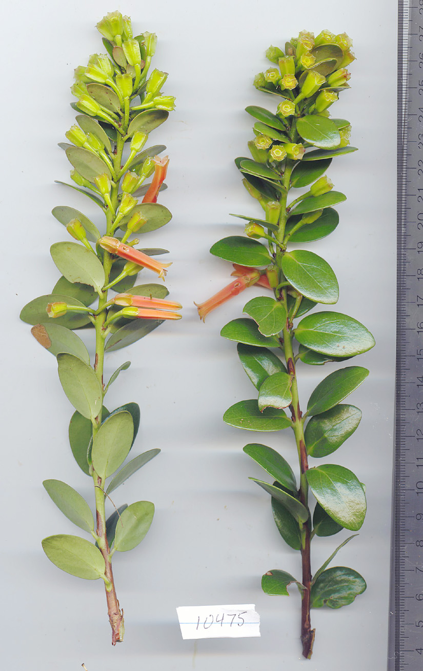 Ericaceae image