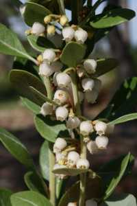 Image of Lyonia ferruginea