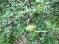 Image of Bernardia myricifolia
