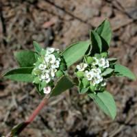 Image of Euphorbia capitellata