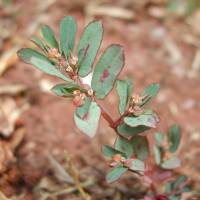 Image of Euphorbia maculata