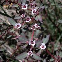 Image of Euphorbia pediculifera
