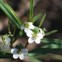 Image of Chamaesyce florida