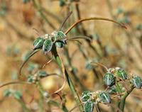 Image of Euphorbia eriantha