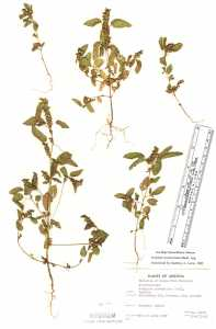 Acalypha neomexicana image