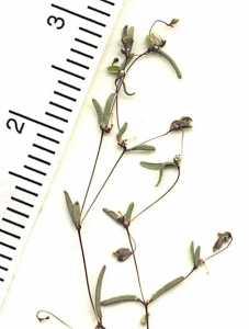 Image of Euphorbia gracillima