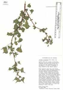 Jatropha cardiophylla image