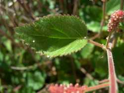 Image of Acalypha californica