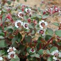 Image of Chamaesyce melanadenia