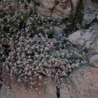 Euphorbia melanadenia image