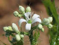 Cnidoscolus angustidens image