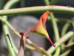Image of Euphorbia lomelii