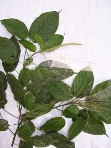 Image of Acalypha macrostachya