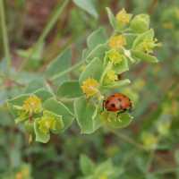 Image of Euphorbia brachycera