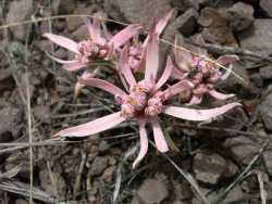 Image of Euphorbia radians