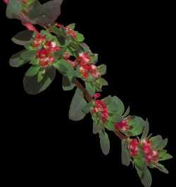 Image of Euphorbia densiflora